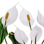 Peace Lily Plant (Spathiphyllum) - Care & Growing Guide