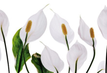 Peace Lily Plant (Spathiphyllum) Care & Growing Guide