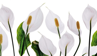white peace lilies