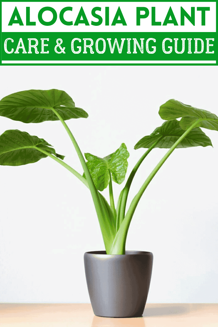 Alocasia Plant care
