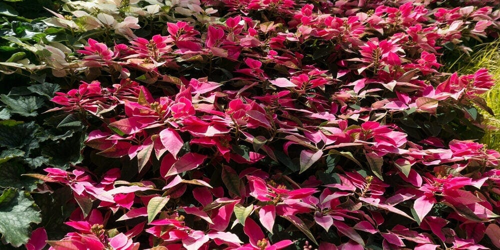 Alternanthera Plant Care & Growing Guide