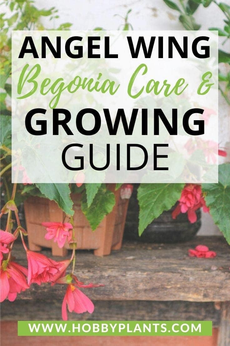 Angel Wing Begonia Care