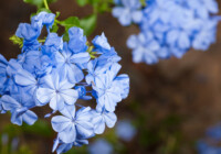 Blue Plumbago Plant Care & Growing Guide