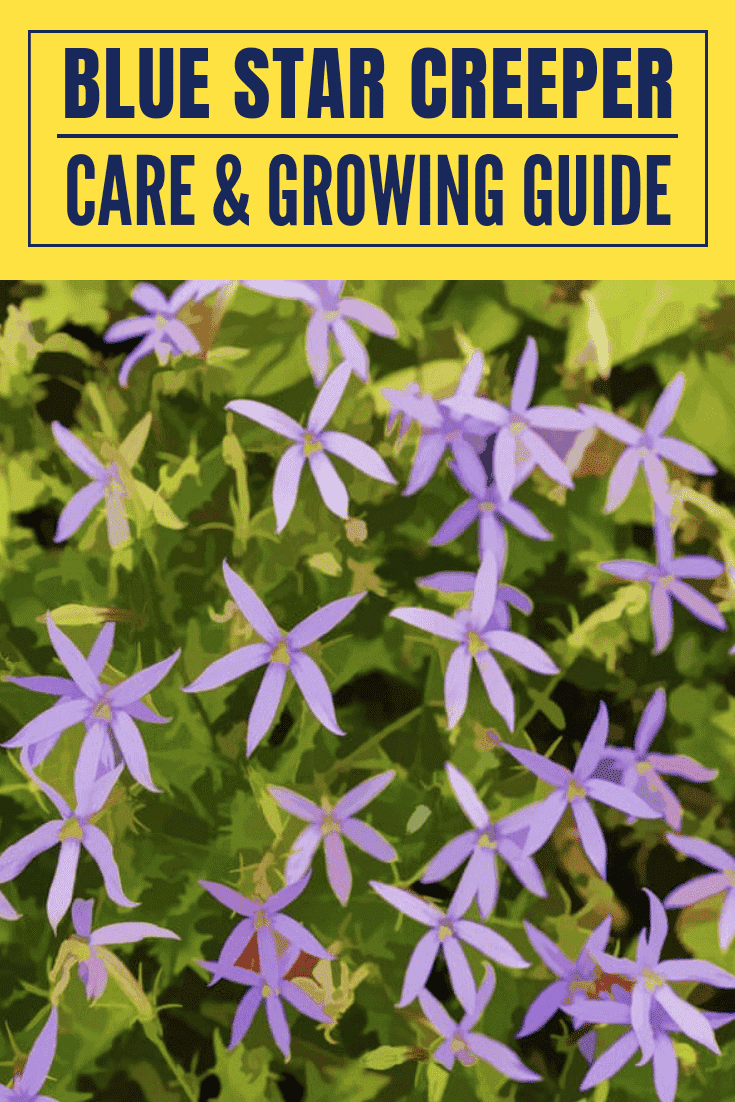 Blue Star Creeper care