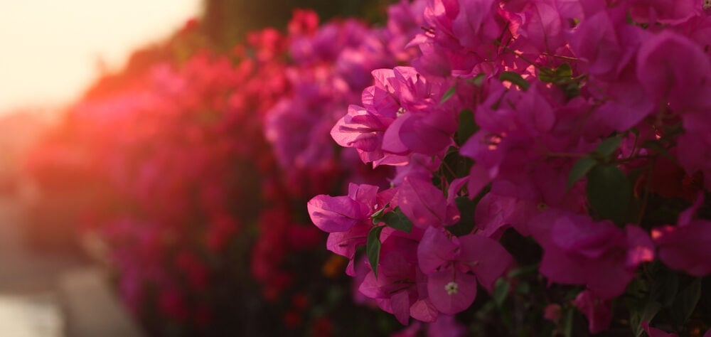 Bougainvillea Plant pink sunset