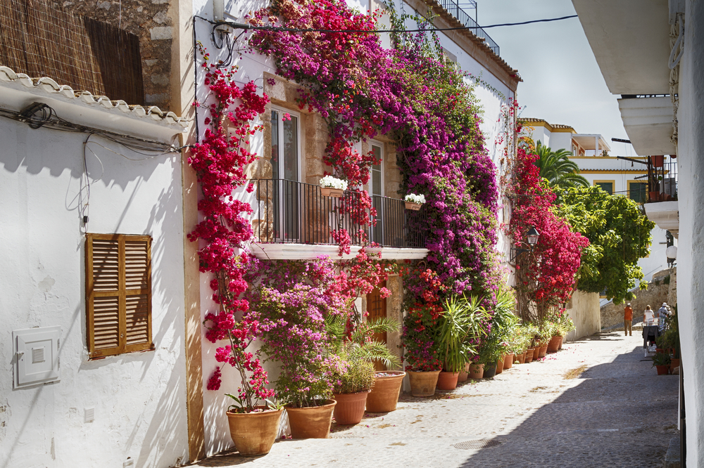 Bougainvillea Plant covered house