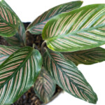Calathea Ornata (Pinstripe Plant) Care & Growing Guide