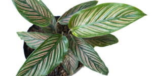 Pinstripe Plant in a pot at home
