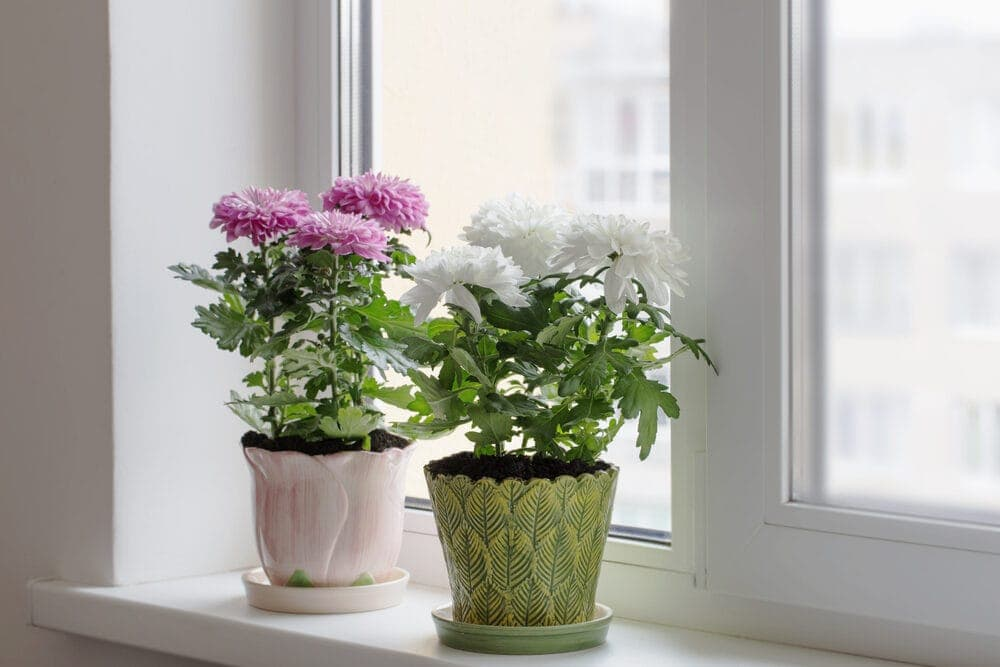 Chrysanthemum in a pot on a window