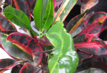 Croton Mammy Care and Growing Guide