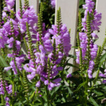 Obedient Plant Care & Growing Guide