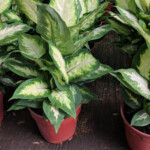Dieffenbachia (Dumb Cane) Care & Growing Guide