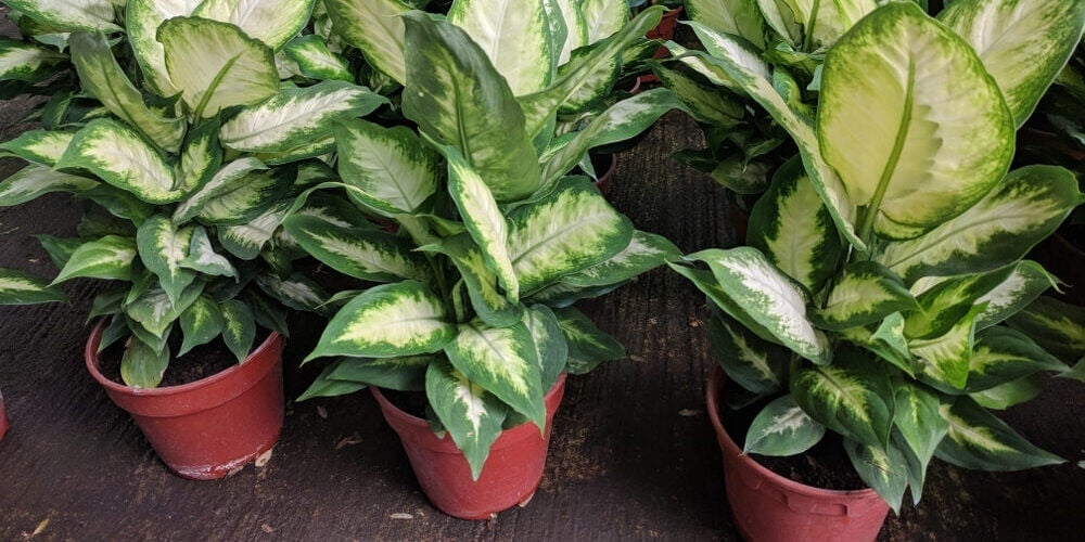 dumb cane in a shop
