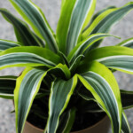 Dracaena Lemon Lime Care & Growing Guide