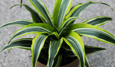 Dracaena Lemon Lime grey table
