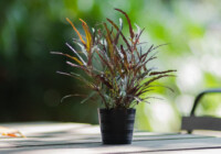 Dragon's Tongue Plant Care & Growing Guide