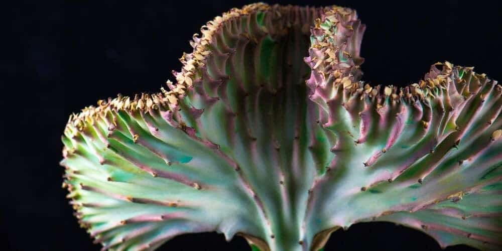 Coral Cactus (Eurphorbia Lactea Crest) Care & Growing Guide