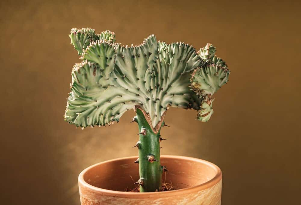 Coral cactus brown pot