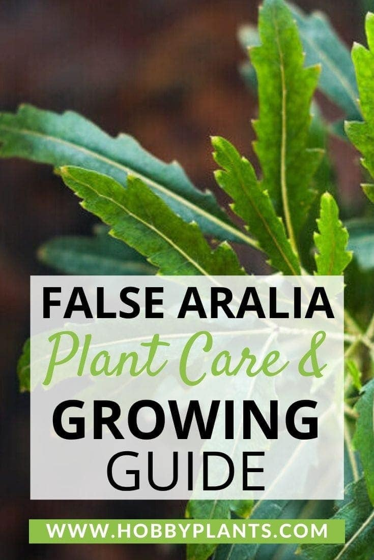 False Aralia Plant Care