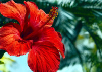 Hibiscus Tree Care & Growing Guide