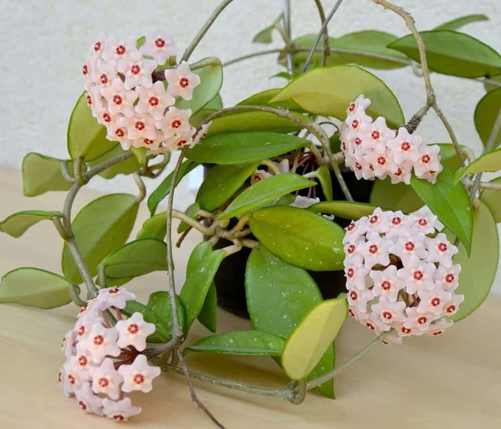 Hoya Plant 2