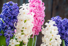 Hyacinth Flowers Care & Growing Guide