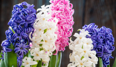 Hyacinth flowers purple white pink