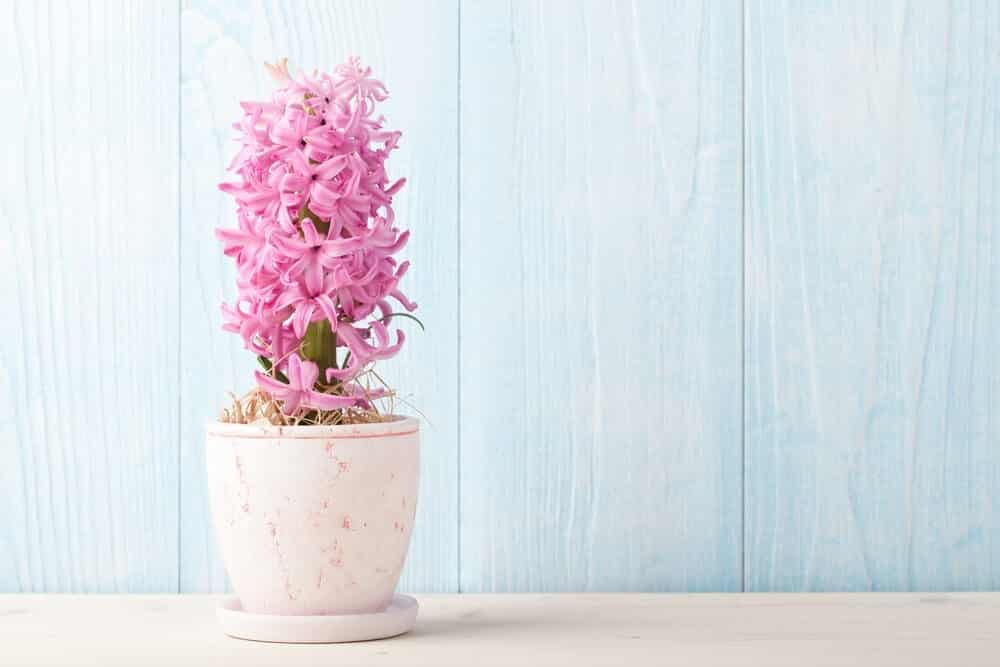 Hyacinth flower pink in a pot