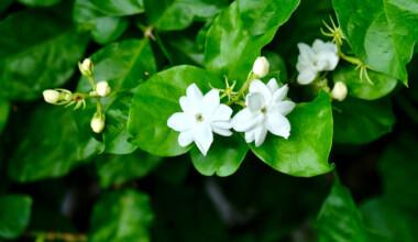 Jasmine Plant flowers
