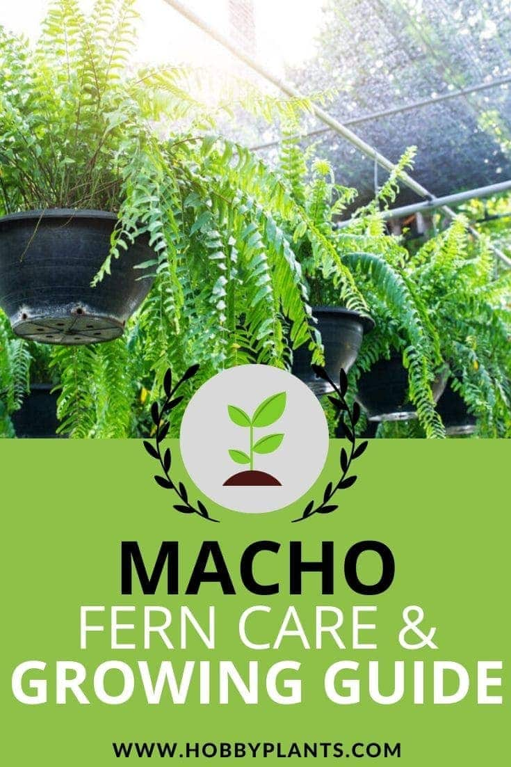 Macho Fern Care