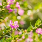 Mexican Heather Care & Growing Guide