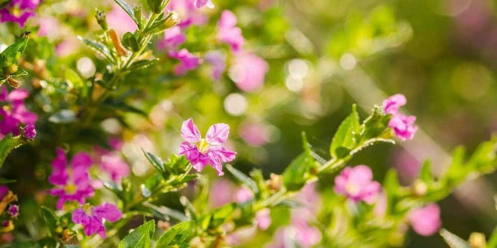 Mexican Heather Cuphea Hyssopifolia Care Growing Guide