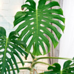 Swiss Cheese (Monstera Deliciosa) - Care Guide