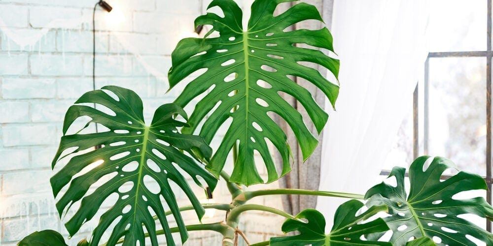 Swiss Cheese (Monstera Deliciosa) Care Guide
