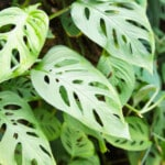 Monstera Adansonii - Care & Growing Guide
