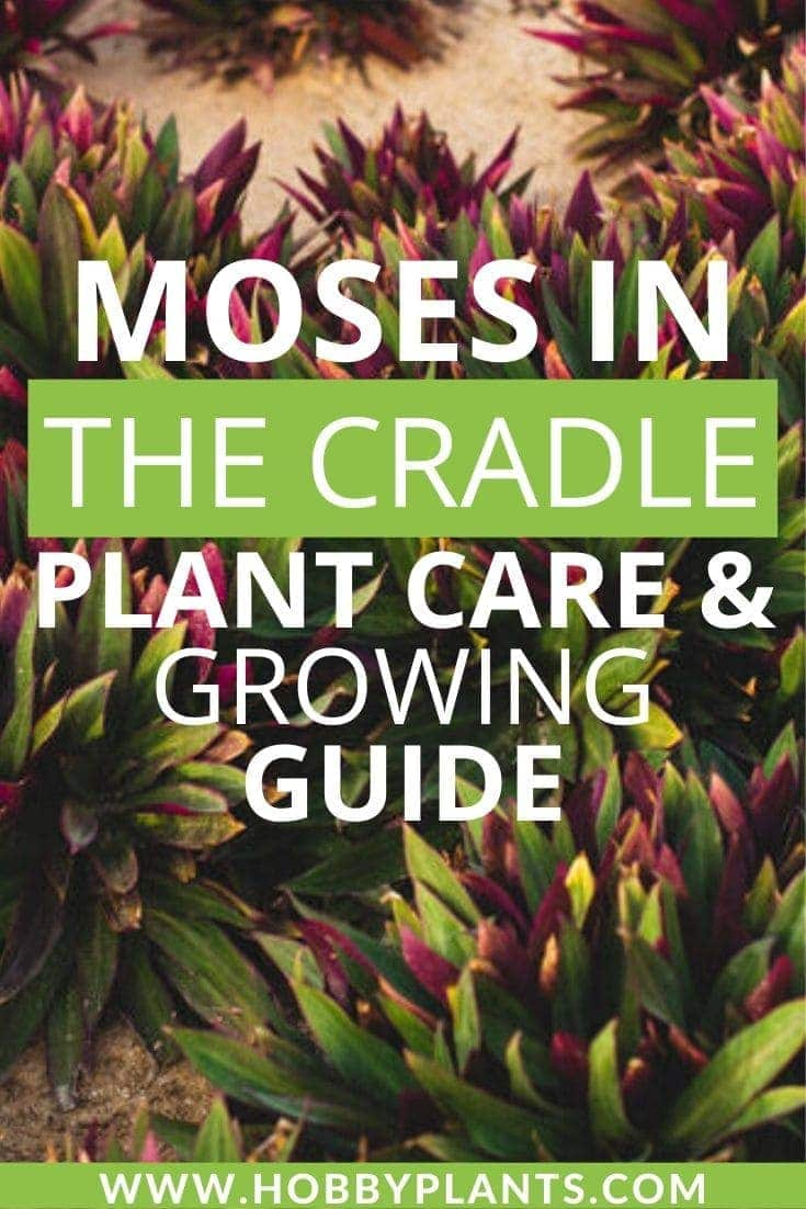 Moses in the Cradle Plant Care