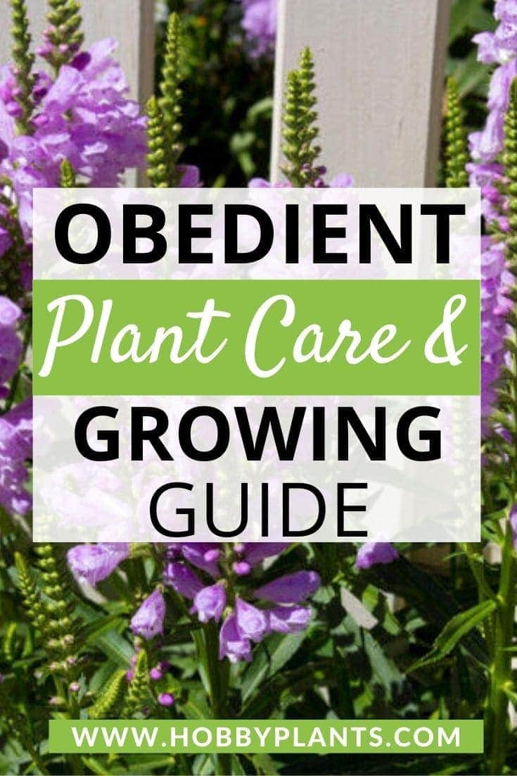 Obedient Plant Care