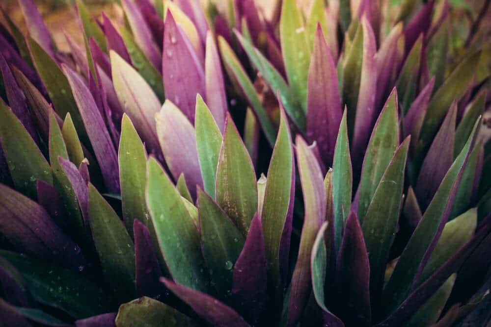 Oyster Plant leaves close up