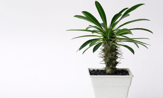 Madagascar Palm white pot