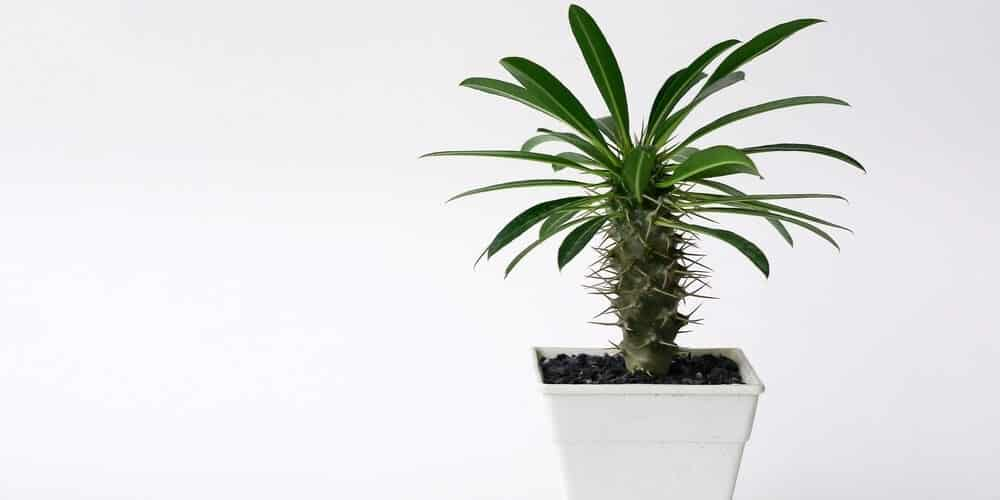 Pachypodium (Madagascar Palm) Care & Growing Guide