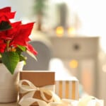 Poinsettia - Care & Growing Guide