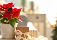 Poinsettia Care & Growing Guide