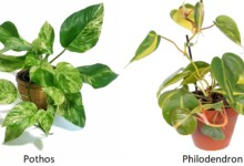 Pothos vs Philodendron - How to tell the difference