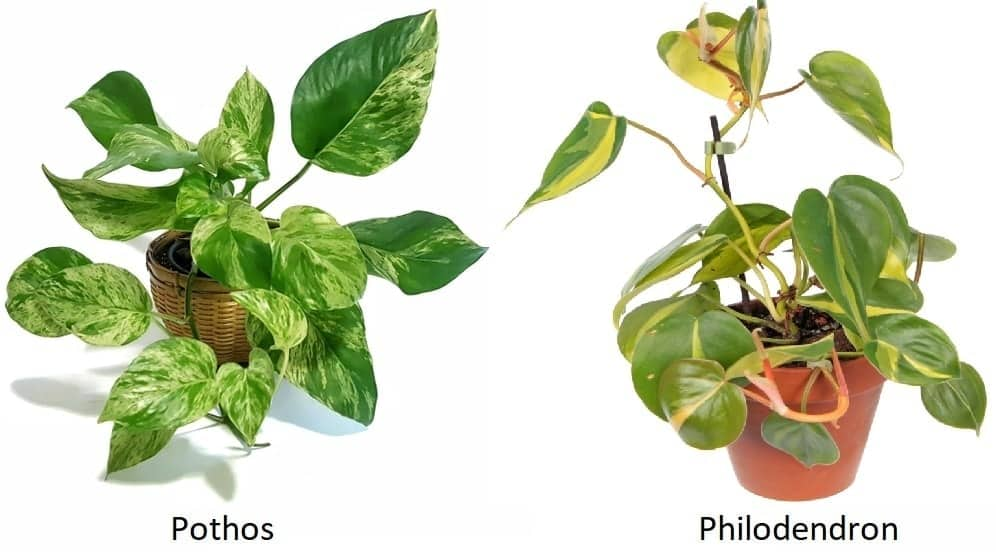 Pothos vs Philodendron