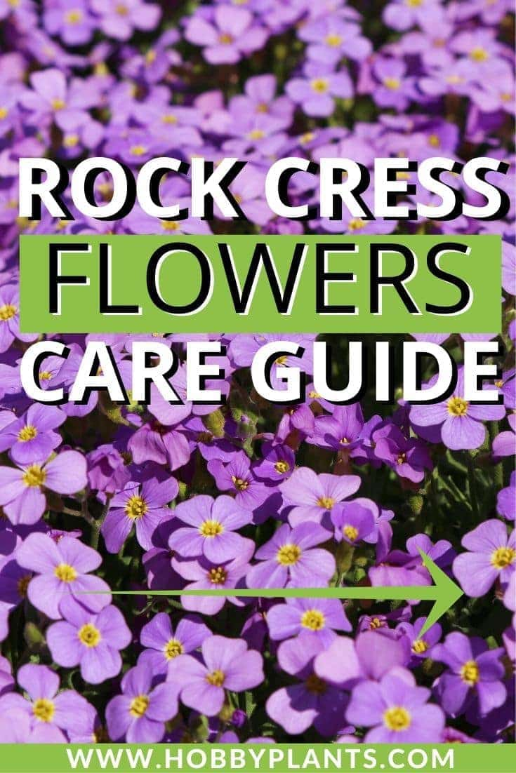 Rock Cress Flowers Care