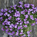 Rock Cress Flowers (Aubrieta deltoidea) Care Guide
