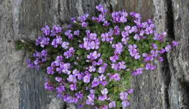 Rock Cress flowers