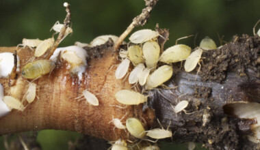 Root Aphids