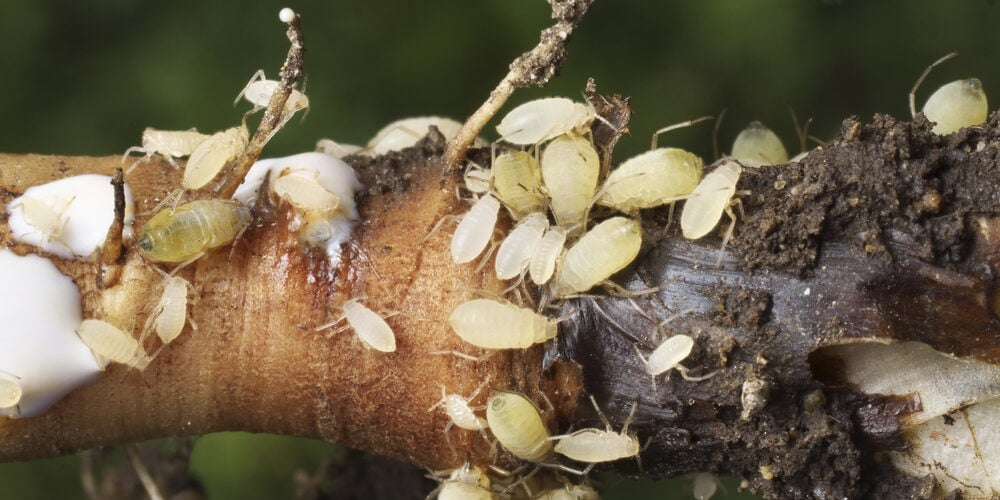 How to Get Rid of Root Aphids