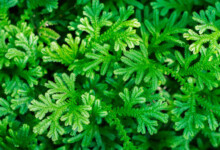 Spike Moss (Selaginella) Care & Growing Guide